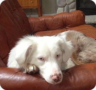 Mason, MI - Australian Shepherd. Meet Alfredo, a dog for adoption. http://www.adoptapet.com/pet/12858869-mason-michigan-australian-shepherd Update 1/20/2016 still there