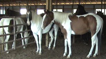 Despite the closure of all horse slaughterhouses in the United States, 13 Investigates has discovered thousands of Indiana horses are still ending up on dinner plates.