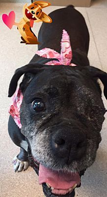 HAWTHORNE, CA - MABEL is a SENIOR BOXER for adoption who needs a loving home.