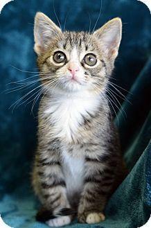 Abyssinian cat rescue georgia