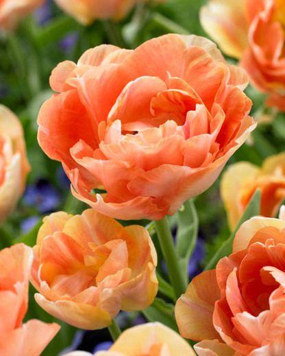 Tulipa 'Orange Angelique', Tulip 'Orange Angelique', Double Late Tulip 'Orange Angelique', Double Late Tulips, Spring Bulbs, Spring Flowers, Orange Tulip, Double Late Tulip, Apricot Tulips