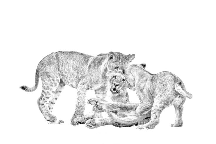B&W print of lion cubs playing at Chitabe camp in the Okavango delta, Botswana