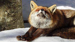 La volpe si stiracchia nel bosco. Lo scatto è incredibile