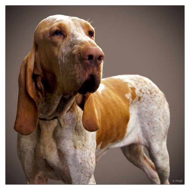 The Bracco Italiano. This will be my next dog!