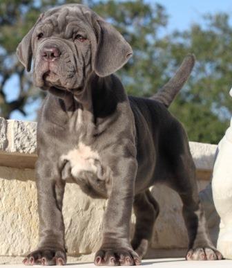 Algunas características físicas del perro Mastín Napolitano http://www.mascotadomestica.com/razas-perros/caracteristicas-fisicas-del-perro-mastin-napolitano.html