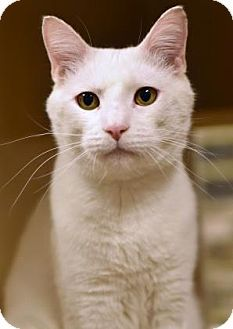 Special Needs! Deaf-Philadelphia, PA - Domestic Shorthair. Meet Silence DoGood, a cat for adoption. http://www.adoptapet.com/pet/17660344-philadelphia-pennsylvania-cat