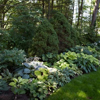 Planning for spring? Autumn is a great time to divide hostas. Dividing and scattering different varieties can make a beautiful multi-tone boarder.
