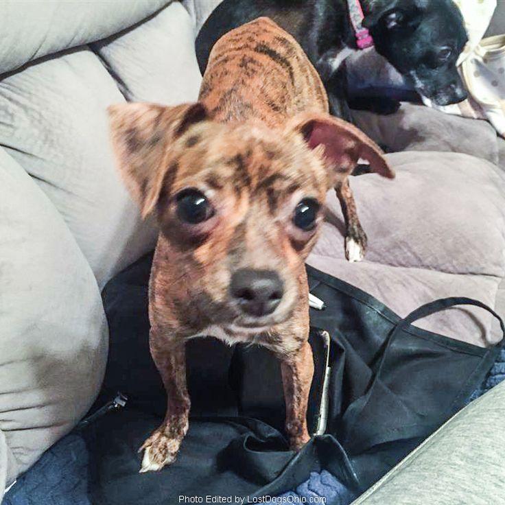 Lost dog chihuahua lorain homewood oh united