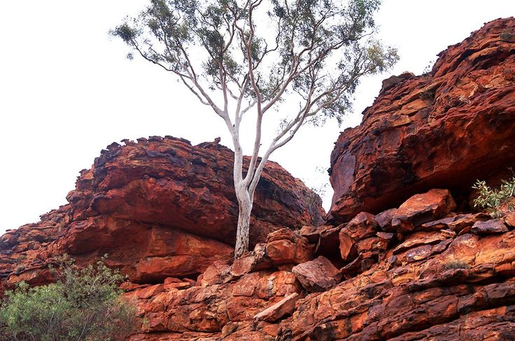 Sneaky ghost gum tree growing at the top of Kings Canyon, Australia