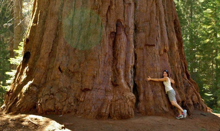 Largest Sequoia in California | Largest oldest sequoia tree in ...