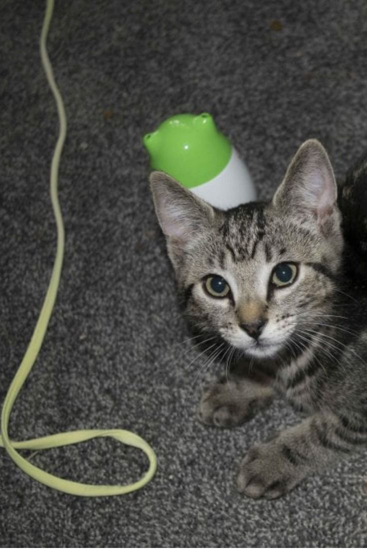 Everyone Loves Kittens They Are Cute Fun And Will Chew Threw Every Electrical Cord They Can Fit Their Tiny Mouths Around After Losing A Few Getting A Kitten Kittens Cord