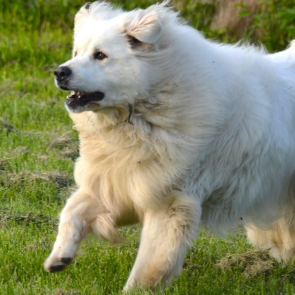 Big Fluffy Dog Rescue Denver