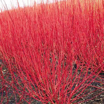 red twig dogwood shrub, Cornus alba Sibirica