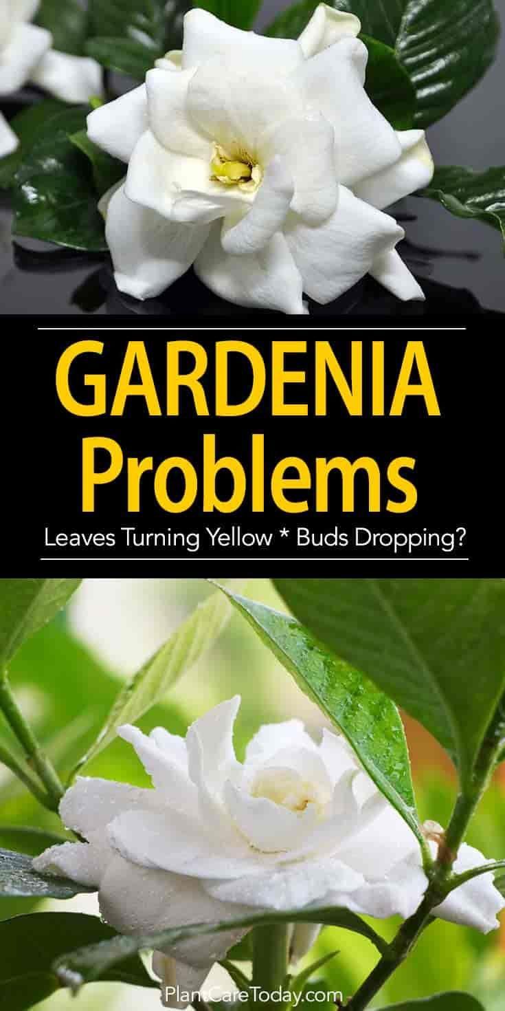 Gardenia Pests Diseases Leaves Turning Brown More Gardenia Plant Gardenia Trees Growing Gardenias
