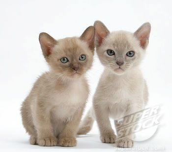 Champagne and platinum Burmese kittens so adorable