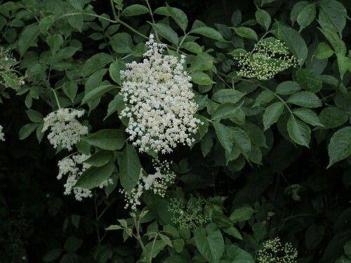 Melk Elder flower
