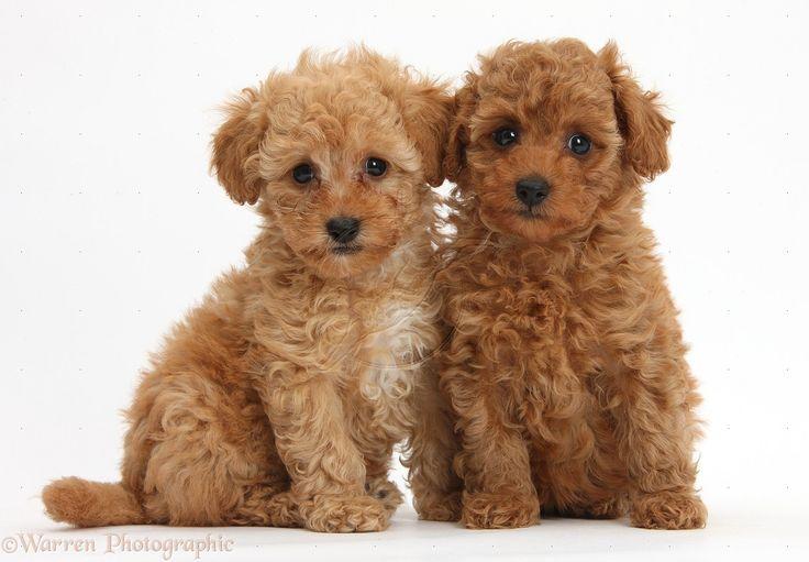 cute toy poodle puppies random pinterest poodles