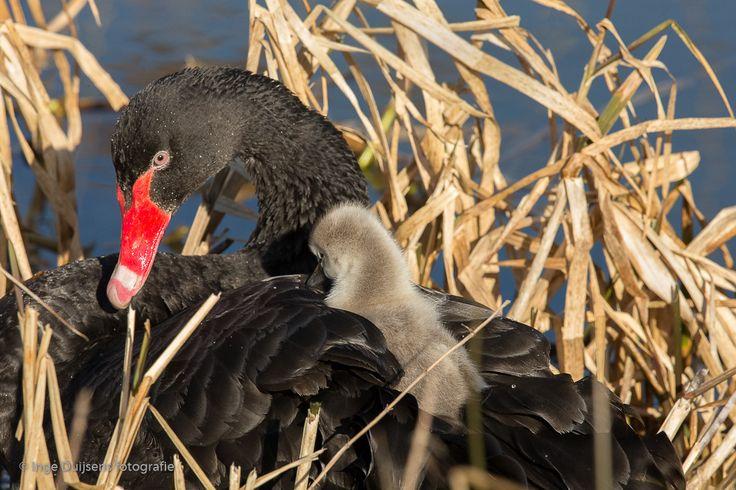 Zwarte Zwaan  (Van vroegevogels)