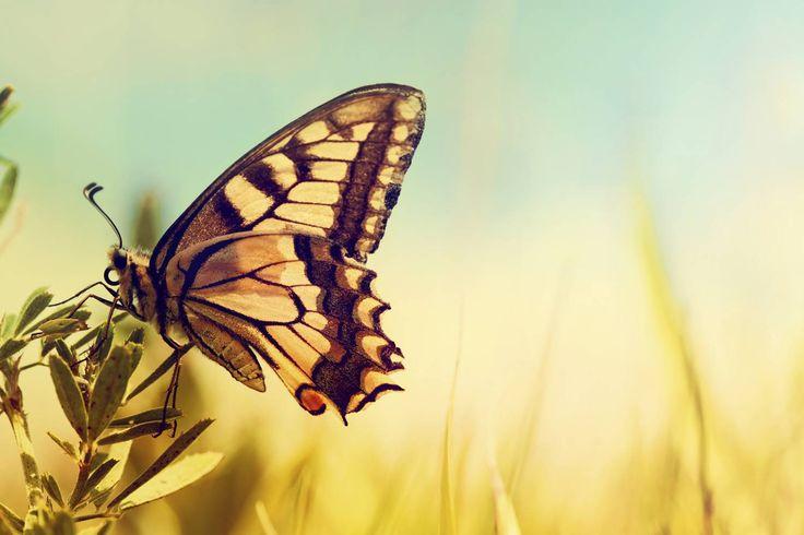 Sommerfugle i lys veggbilde | Lerretsbilde | Blomst | Blå | Gul