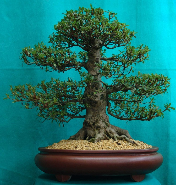 433 best trees of all kinds and flowering trees images on for Most expensive bonsai tree ever