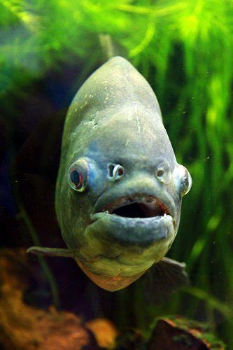 28 best images about piranhas on Pinterest   Dubai ...
