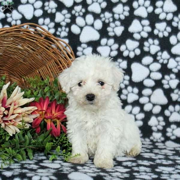 Charlie Bichon Frise Puppy For Sale In Pennsylvania Bichon Frise Puppy Bichon Frise Bichon