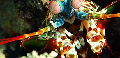 El sorprendente camarón mantis, un crustáceo con una patada tan letal que logra romper peceras