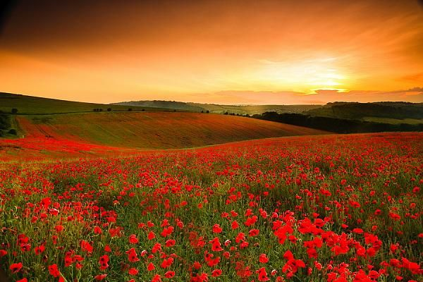 In Flanders fields the poppies blow  between the crosses, row on row.