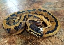 Piebald Ball Python for sale | Snakes at Sunset