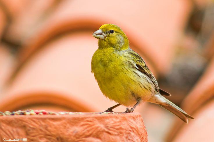 De kanarie, ook wel bekend als Serinus Canaria Domestica is een klein zangvogeltje dat behoord tot de vinkachtigen. Oorspronkelijk komt de vogel van de Canarische Eilanden.