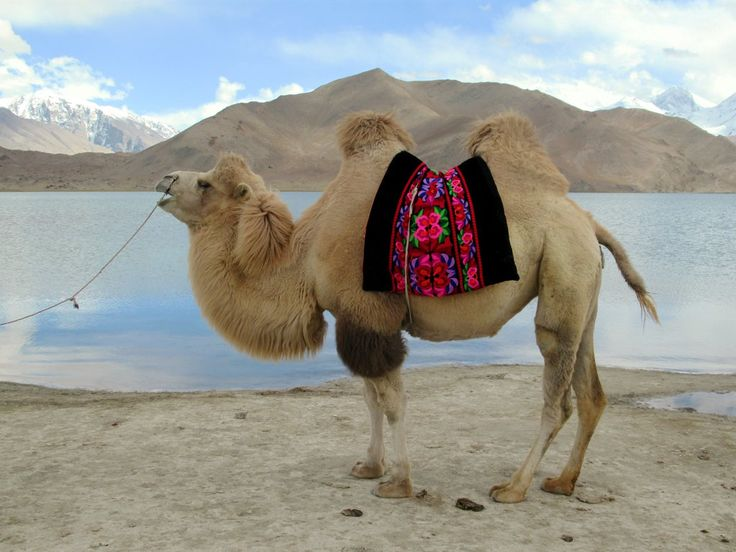 Ethnic Kyrgyz locals have dressed up this woolly Bactrian camel to be used as a prop by Chinese tourists at Lake Karakol between Kashgar and Tashkurgan, Xinjiang, China.