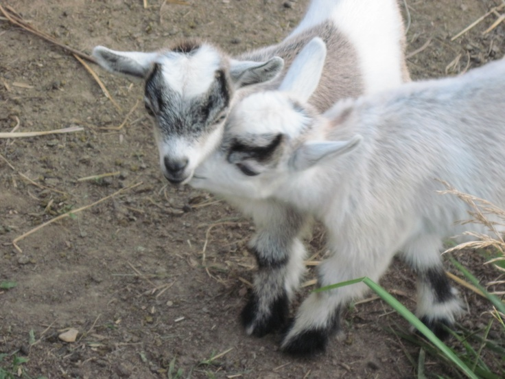 Pygmy Goats from Pleasant Valley Farms
