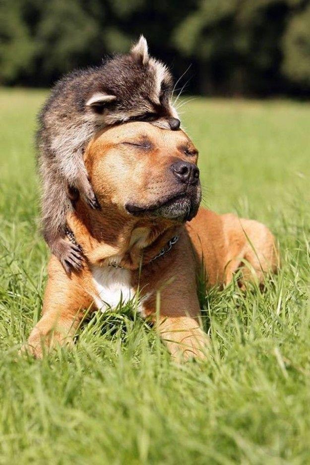 Und dieses Foto zeigt, dass sogar Hunde und Waschbären zusammen leben können.
