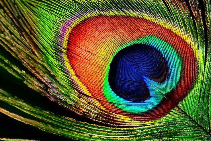 pávie perá - Hľadať Googlom