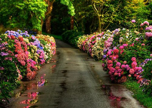 beautiful borders of hydrangeas Forest Lane, Yorkshire, England photo via happily