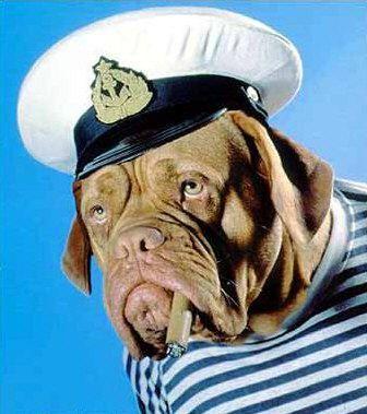 Dogo de Burdeos disfraz de capitán