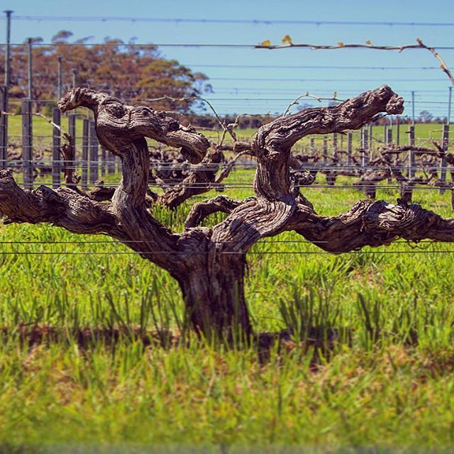 The Hill of Grace vineyard looking amazing in it's 155th Spring