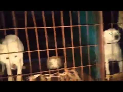 """""""Meat Dog"""" Breeding Farm in Incheon Ganghwado, South Korea"""