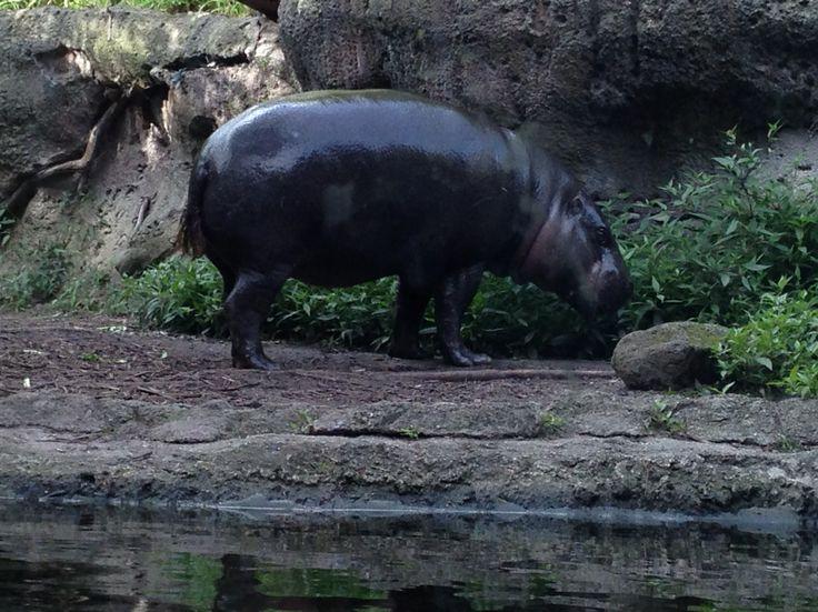 Pygmy hippopotamus at Melbourne Zoo