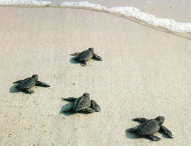 I have always wanted to see baby sea turtles hatching and going to the ocean!
