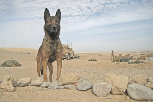 Lex L479 and his handler would often spend the night in the foxholes they shared while on patrol in Afghanistan. But there was no rest for Lex; once his handler fell asleep, the Belgian Malinois would crawl out from their tarp-protected foxhole and stand guard over him through the night -- often in torrential rains: Military Dogs, Belgian Malinois, Torrential Rains, Soldier Dogs, War Dogs
