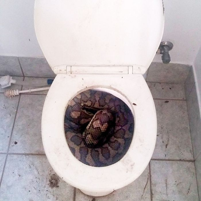 Snakes in toilets of Townsville houses as search for water gets creative in north Queensland - ABC News (Australian Broadcasting Corporation)