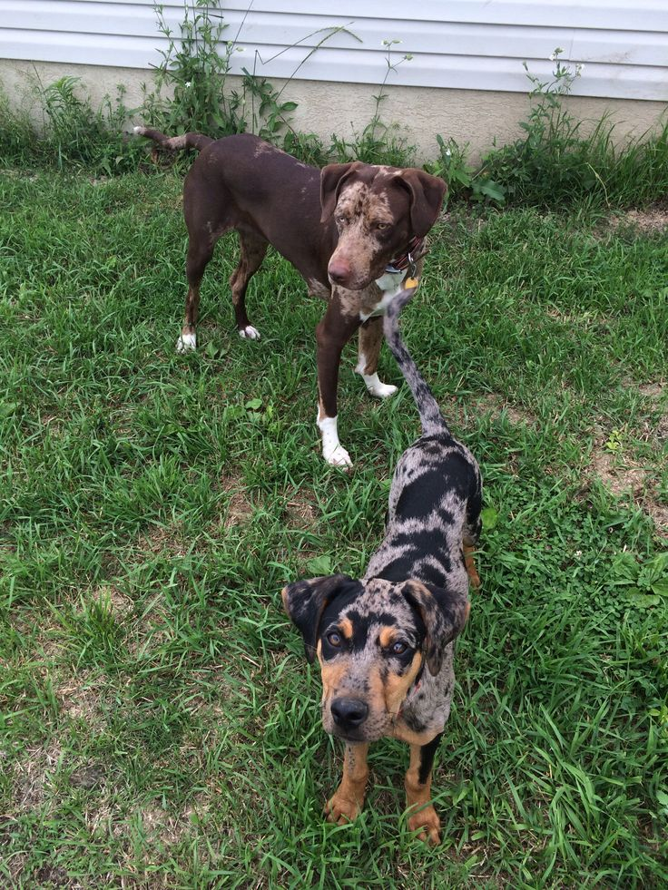 Catahoula Leopard Dogs