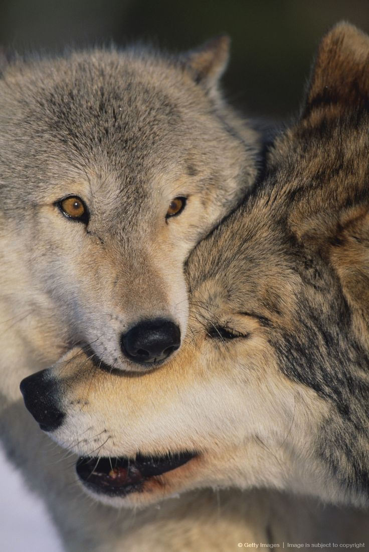 Gray Wolves Nuzzling