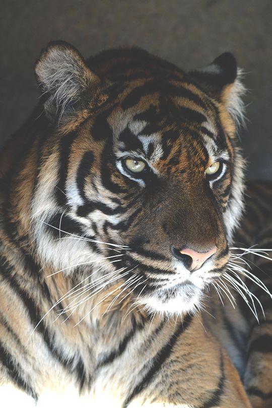animaux maxime la photographie de bijoux homme photo les animaux de la nature les animaux sauvages rayures de tigre photos de nature