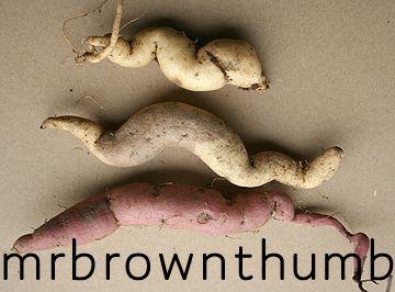 Storing Sweet Potato Vine Tubers