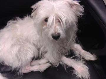 ***SENIOR/SPECIAL NEEDS*** Petango.com – Meet Ichiro, a 7 years 4 months Chinese Crested / Mix available for adoption in SOUTH ORANGE, NJ Address 298 Walton Avenue , Unit, SOUTH ORANGE, NJ, 07079 Phone (973) 763-7322 Website http://www.jaconline.org Email info@jaconline.org