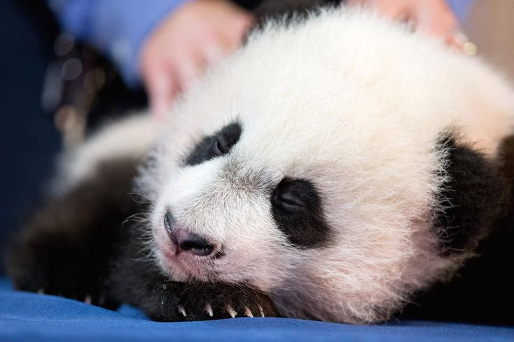 Bei Bei Bei, the National Zoo's newest panda and offspring of Mei Xiang and Tian Tian, falls asleep while being presented for members of the media at the National Zoo in Washington, Monday, Dec. 14, 2015. Bei Bei will be making his public debut on January 16, 2016. (AP Photo/Andrew Harnik)