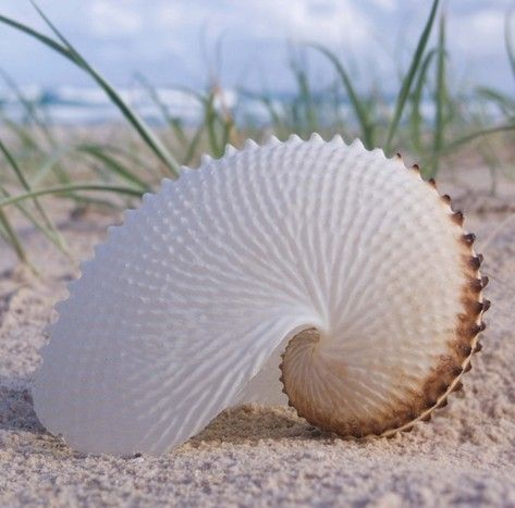 Paper Nautilus by lupe