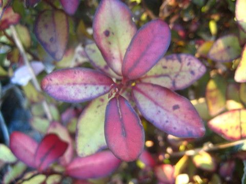 48 - Pseudowintera colorata (Horopito)